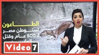شكرا للعرسة  الحيوان الذي أنقذ أرواح ملايين المصريين من الموت حكاية أغرب من الخيال