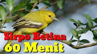 HD Audio Kicau Burung Sirpo Betina 60 Menit Nonstop