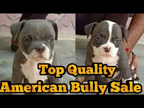 Am Bully Puppy Sale American Bully For Sale In Bhatinda