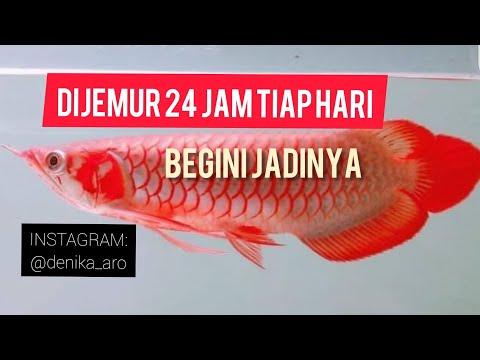 Edisi Ikan: Iseng Beli Arowana SR