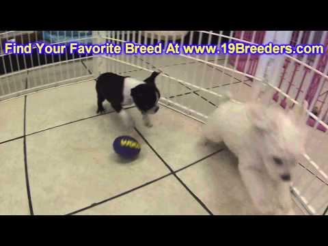 Boston Terrier, Puppies, For, Sale, In, Wichita, Kansas, KS, Pittsburg, Hays, Liberal, Prairie Villa