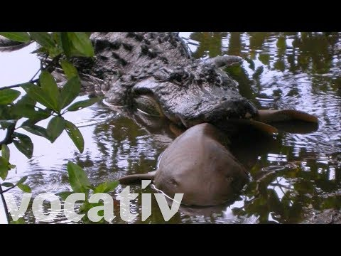 Sharks And Stingrays Are Alligator Lunch