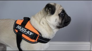 Julius K9 Idc Powerharness Review Better Than The Original Youtube