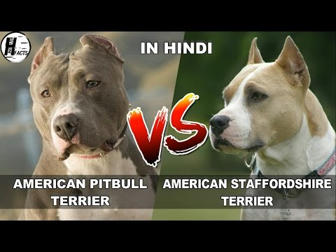American PitBull Terrier VS American Staffordshire Terrier | COMPARISON | DOG VS DOG