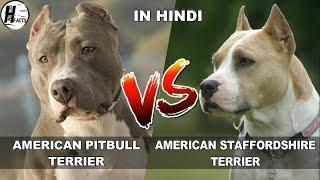 American PitBull Terrier VS American Staffordshire Terrier   COMPARISON   DOG VS DOG