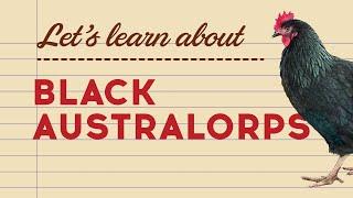 Black Australorps - Popular Egg Laying Breeds