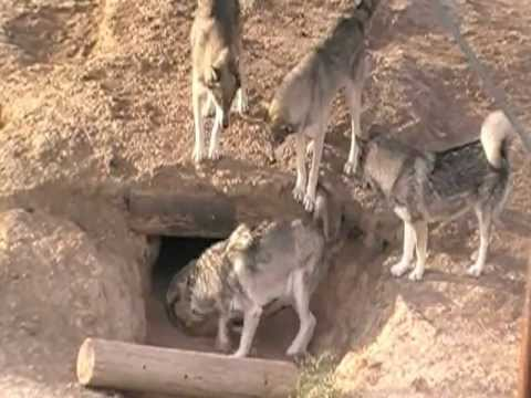 Wolf Pack At The Wild Animal Sanctuary/ In The Den
