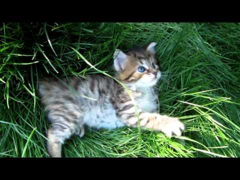 4 week old American Bobtail Kitten