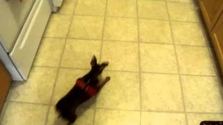 Cute Min Pin Tap Dancing With Help From Lazer Very Funny Tap Dancing Dog