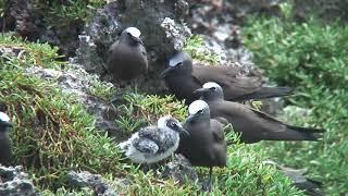クロアジサシ(1)夏鳥(宮古島、硫黄島、オーストラリア) - Brown Noddy - Wild Bird - 野鳥 動画図鑑