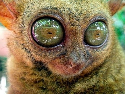 animal eye eyes animals eyed monkey baby bush huge eyeball mammal tarsier amazing had tarsiers most creepy facts head