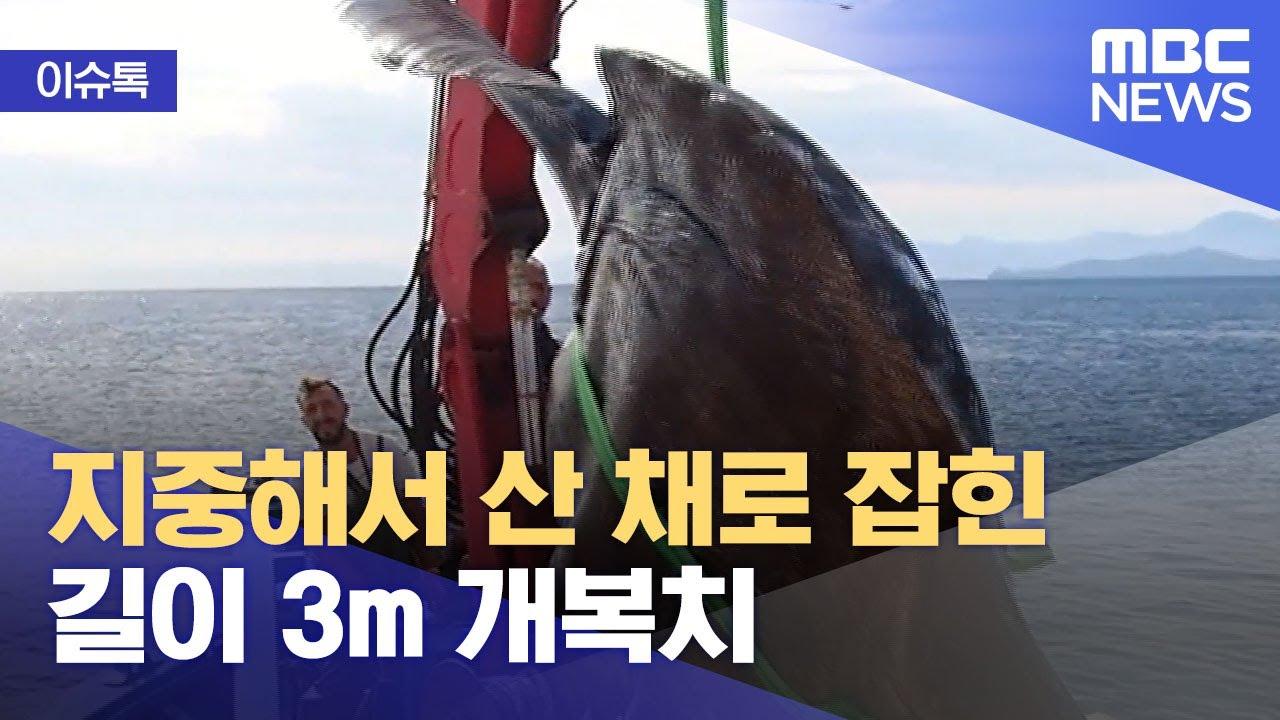 Download [이슈톡] 지중해서 산 채로 잡힌 길이 3m 개복치 (2021.10.18/뉴스투데이/MBC)