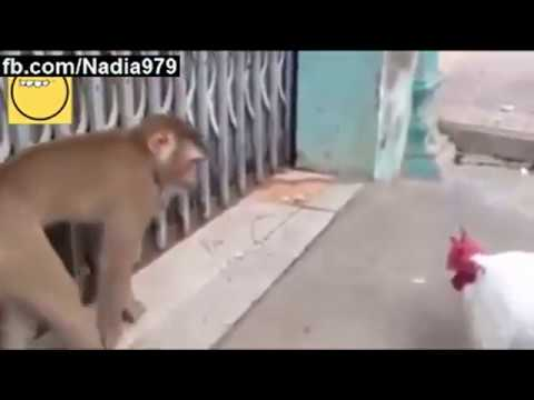 Funny Monkey Playing With Roster || World Top Funny Video