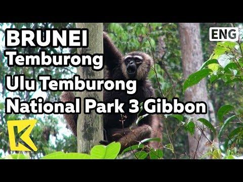 【K】Brunei Travel-Temburong[브루나이 여행-템부롱]울루 템부롱 국립공원 3 긴팔 원숭이/Ulu Temburong National Park/Gibbon