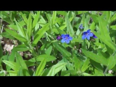 Вопрос: Чем объяснить быстрый рост и раннее цветение пролесков?