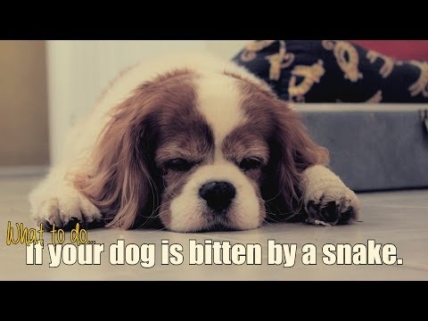 What To Do If Your Dog Is Bitten By A Snake.