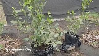 видео Выбор саженцев | Калининские сады