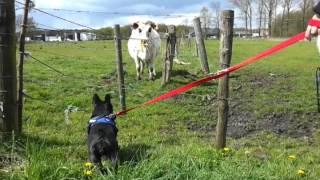 Bulldog Babette Meets Cow