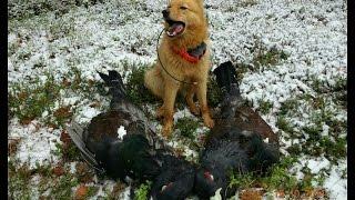 Охота на глухаря осенью с собакой