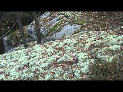 Cladonia rangiferina Dutohlávka sobí