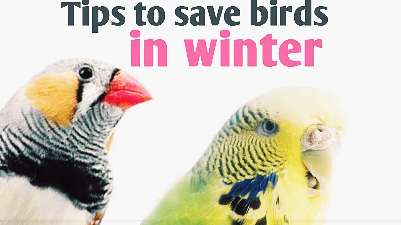 """Résultat de recherche d'images pour """"how to take care of your parrot during winter"""""""