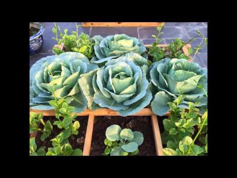 TRỒNG RAU , trồng bắp cải tại nhà ,VƯỜN XANH
