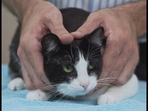 How to pick up a cat like a pro  Vet advice on cat handling.
