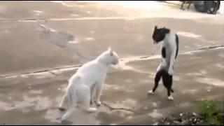 En komik kedi kavgası