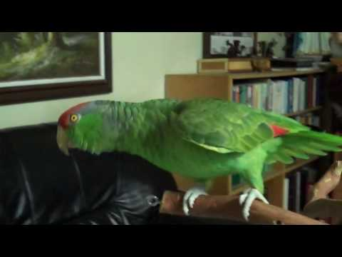 Amazon Parrot displaying