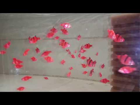 Барбус суматранский красный GloFish