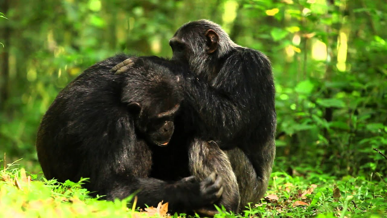 Chimpanzees grooming - YouTube