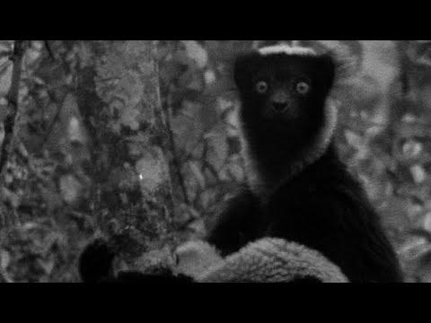 The Dog Headed Men? Indri Lemur   #AttenboroughWeek   Zoo Quest To Madagascar   BBC