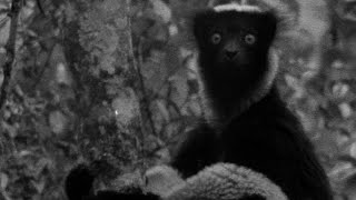 The Dog Headed Men? Indri Lemur - #AttenboroughWeek - Zoo Quest to Madagascar - BBC