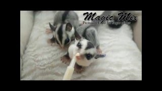 Feeding Baby Sugar Glider With Magic Mix