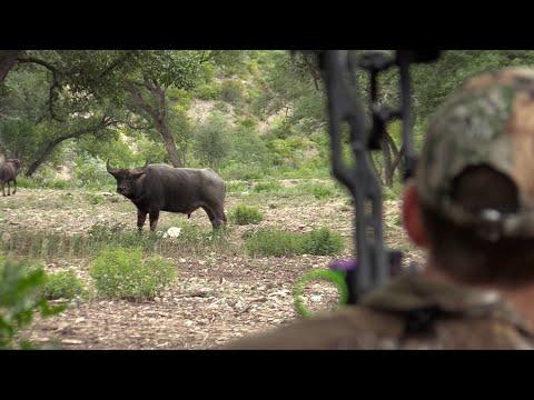 Bowhunting For Water Buffalo