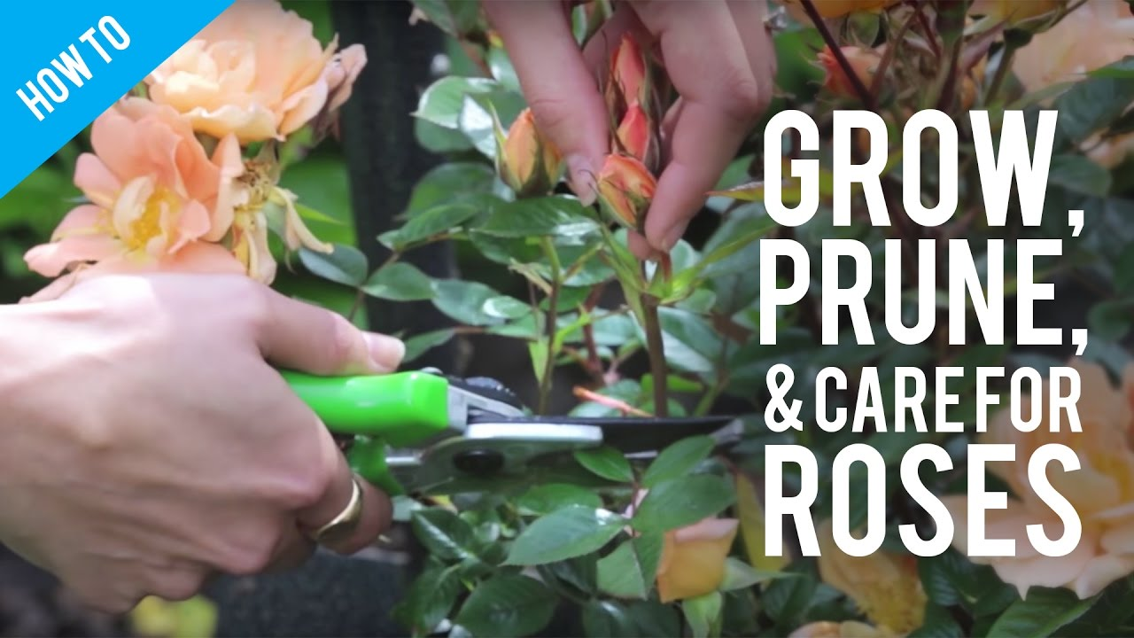 How To Grow Prune Care For A Rose Bush Youtube