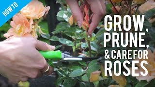 How To Grow, Prune & Care For A Rose Bush