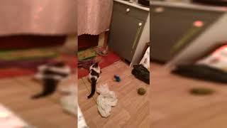 Моя кошка играет