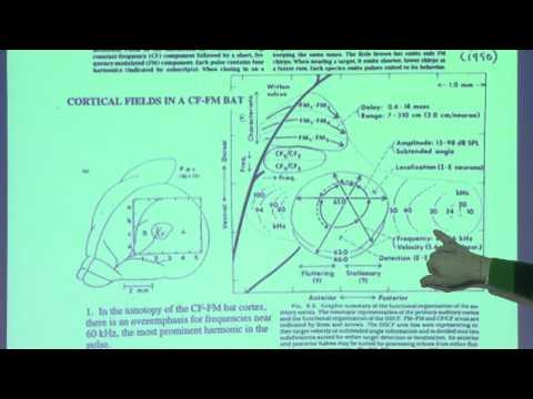23. Auditory cortex 2: Language; bats and echolocation