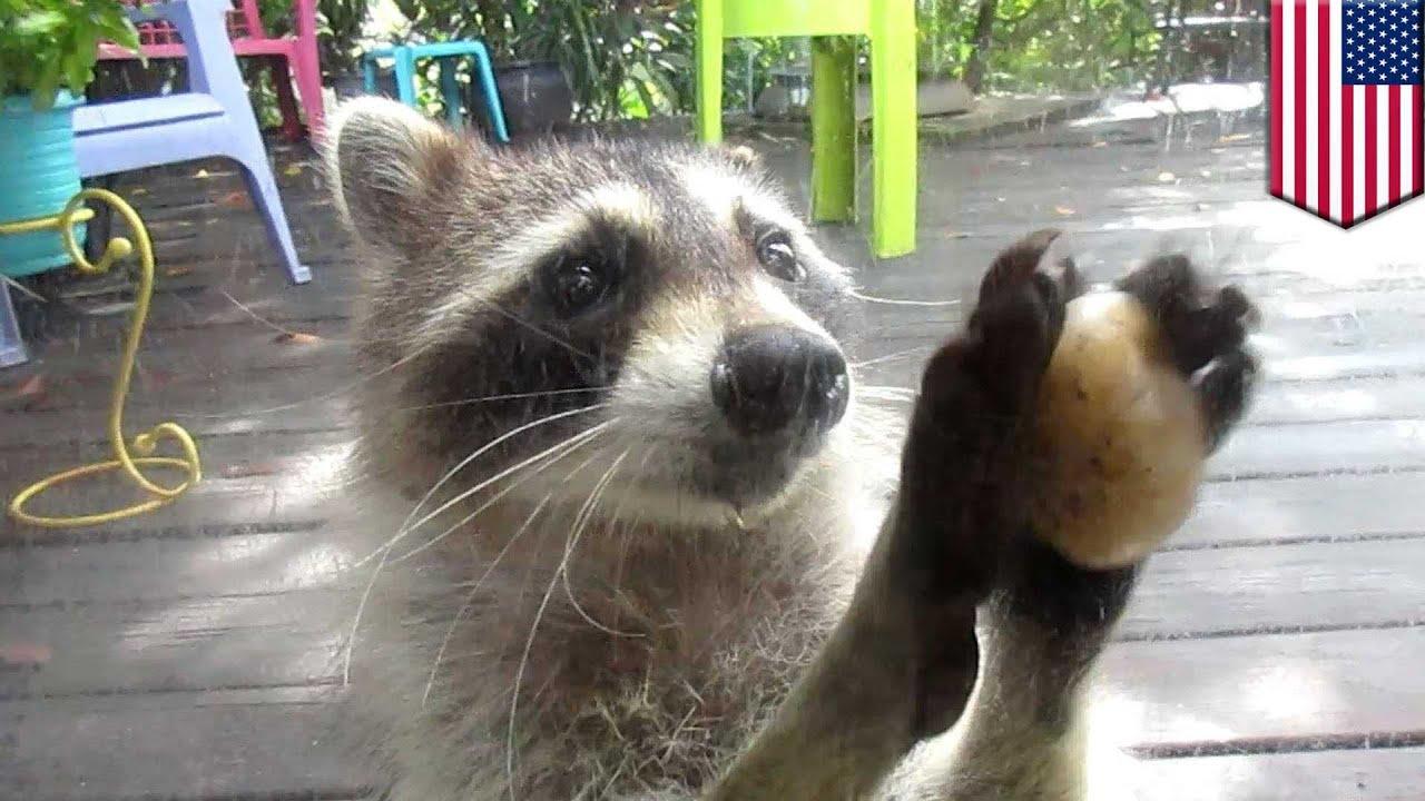 Raccoon Cat Food Rock
