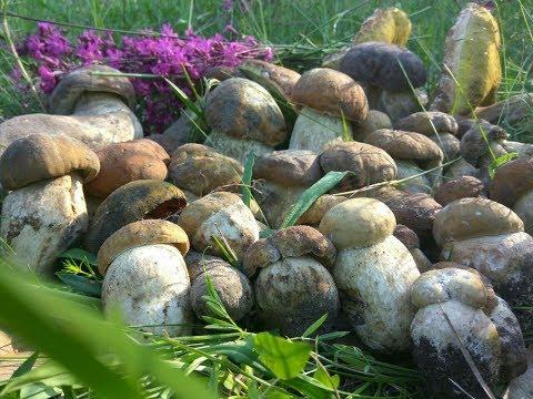 БЕЛЫЕ ГРИБЫ ПОШЛИ МАССОВО|Сбор белых грибов 2018