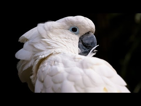 Funny Cockatoo Talking Compilation - Cockatoo Funny