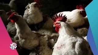 بتوقيت مصر | الحكومة تبدأ بتفعيل قانون منع بيع الدواجن الحية