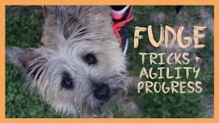 Fudge | Cairn Terrier Tricks + Agility