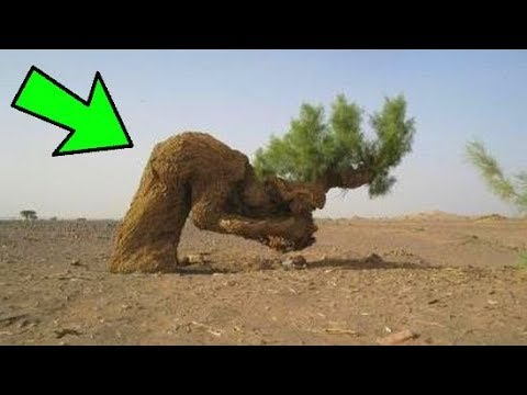حدث معجزه هزت الكون للشجره التي استظل بيها النبي محمد ﷺ ...!!!!!!!!!!!!