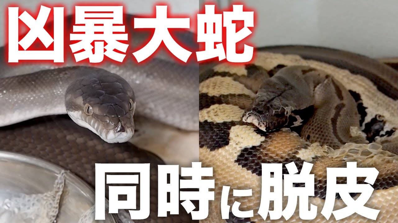 一斉に脱皮した凶暴な大蛇たちのお世話が大変すぎる