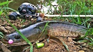 Repeat youtube video Texas Rig ... ปลาชะโอน + ช่อนกีกี้
