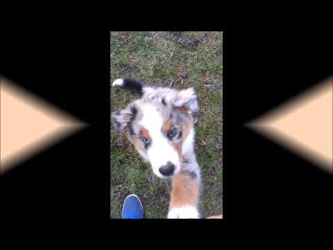 Australian shepherd puppy - tricks