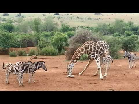 Giraffe and Zebra Play Fight