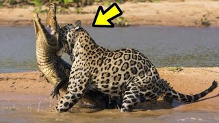 10 Momentos Cuando Te Metes Con El Animal Equivoca Ep. 7 | jaguar, Caimán | LA LEY DEL MÁS FUERTE